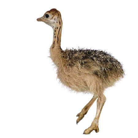 ostrich chick: Ostrich Chick in front of a white background