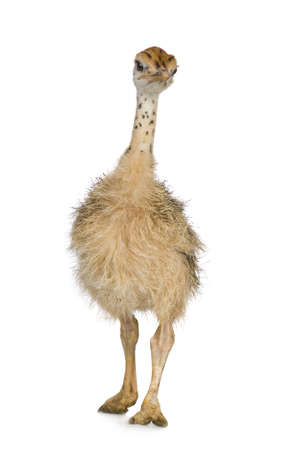biped: Ostrich Chick in front of a white background