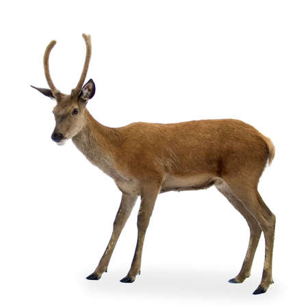 isoleted: deer in front of a white background and looking at the camera Stock Photo