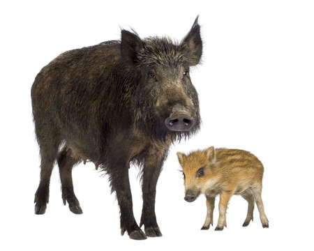 sniff: wild boar and her young wild boar in front of a white background