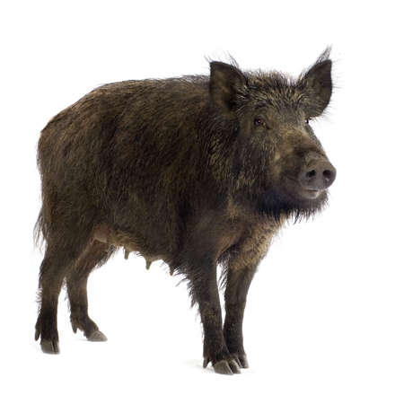 sniff: wild boar in front of a white background Stock Photo