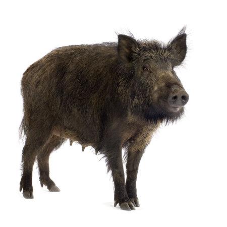 wildschwein: Wildschwein an wei�em Hintergrund  Lizenzfreie Bilder