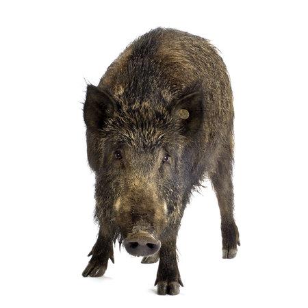 eber: Wildschwein an wei�em Hintergrund  Lizenzfreie Bilder