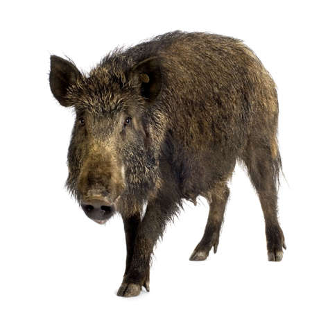 pig tails: wild boar in front of a white background Stock Photo