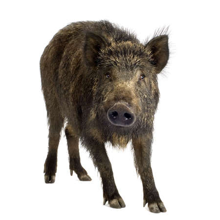 wild boar in front of a white background Stock Photo