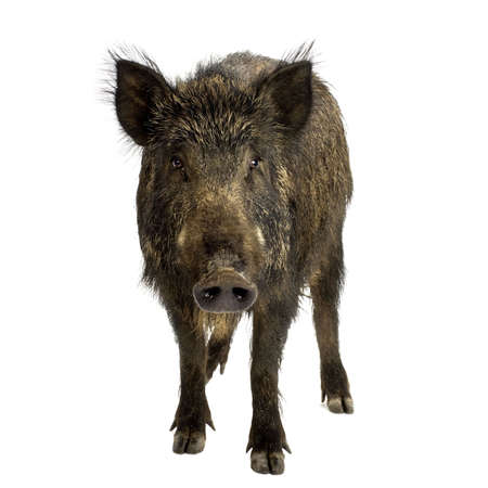 wild  boar: wild boar in front of a white background Stock Photo