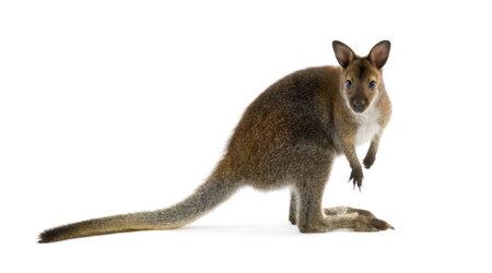 Wallaby voor een witte achtergrond