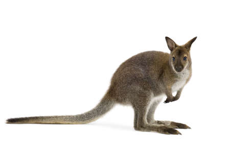 Wallaby in front of a white background Stock Photo