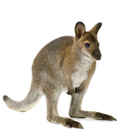 biped: Wallaby in front of a white background Stock Photo