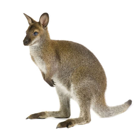 Wallaby in front of a white background 스톡 콘텐츠