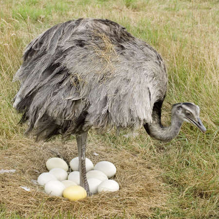 incubate: Ostrich Chick in front of a white background