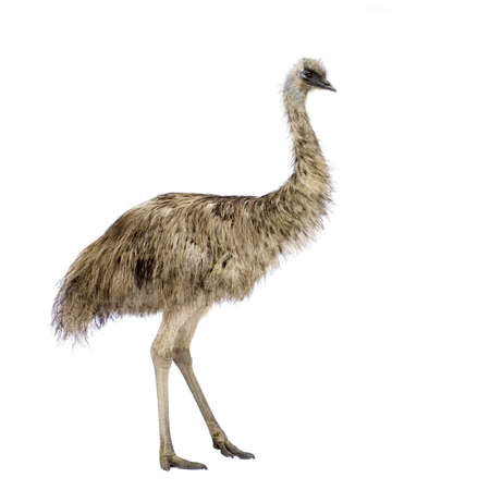 biped: Emu in front of a white background