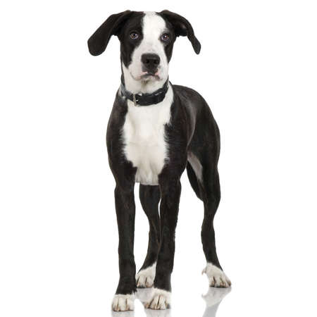 black and white pit bull: puppy American Staffordshire terrier crossed with a bernese moutain dogstanding up in front of a white background