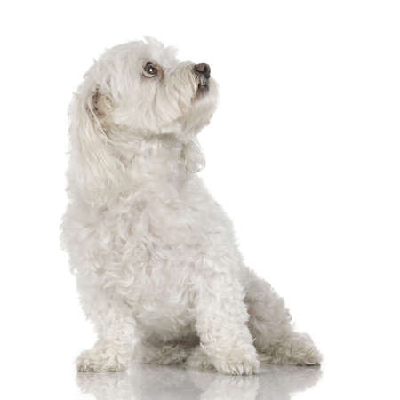 envious: old maltese dog sitting and  looking-up in front of white a background
