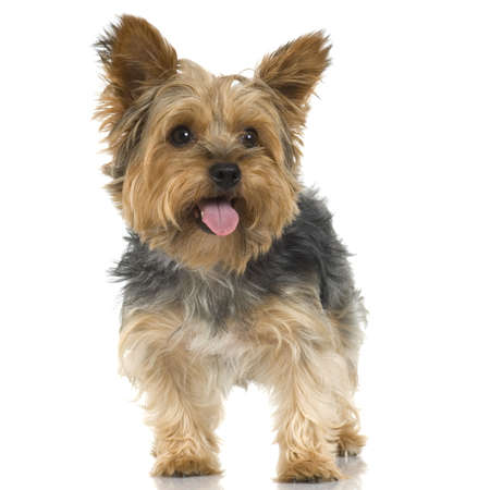 Adult Yorkshire Terrier sticking the tongue out in front of a white background photo