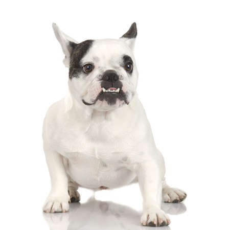 wrinkely: french Bulldog adult in front of a white background
