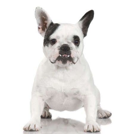 french Bulldog adult in front of a white background