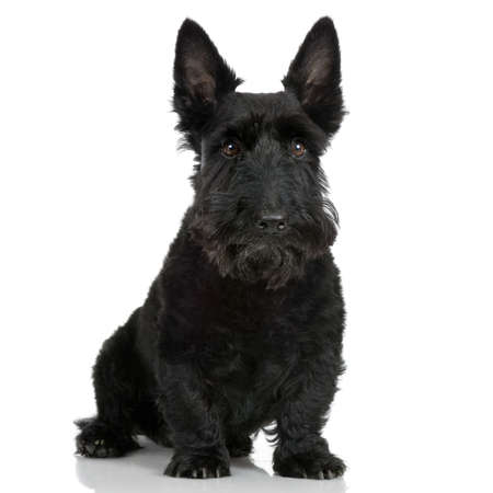 Scottish Terrier in front of a white background Stock Photo