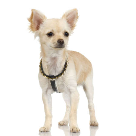 long haired chihuahua: adult long haired chihuahua standing up in front of white background Stock Photo