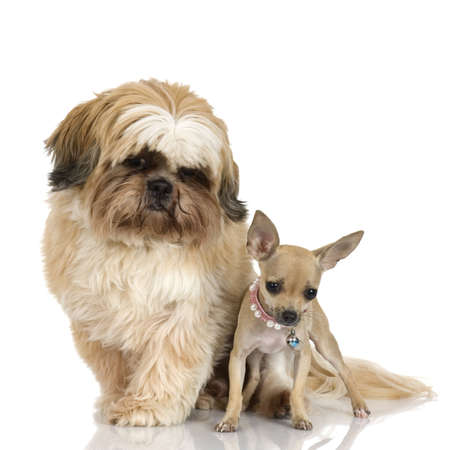 shihtzu: chihuahua and Shih Tzuin front of white background Stock Photo
