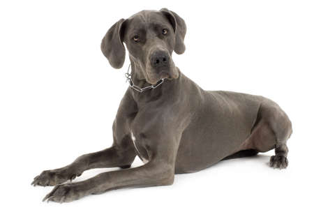 Grey Great Dane lying down in front of white background