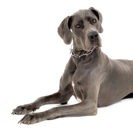 Grey Great Dane lying down in front of white background photo