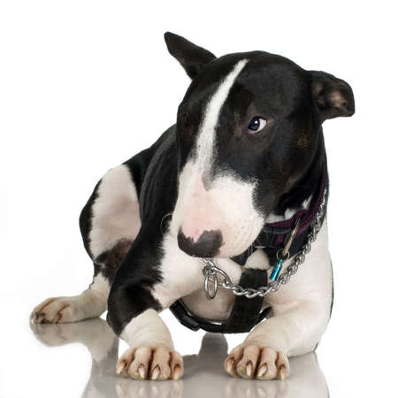 bul: Bull Terrier in front of a white background