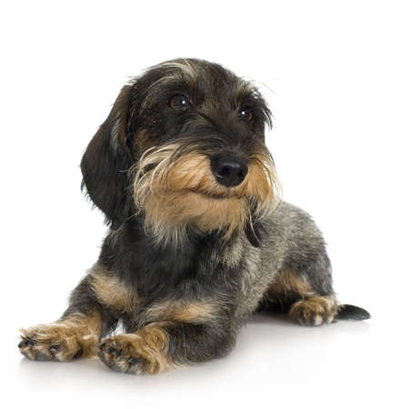 lapdog: young Coarse haired Dachshund in front of a white background