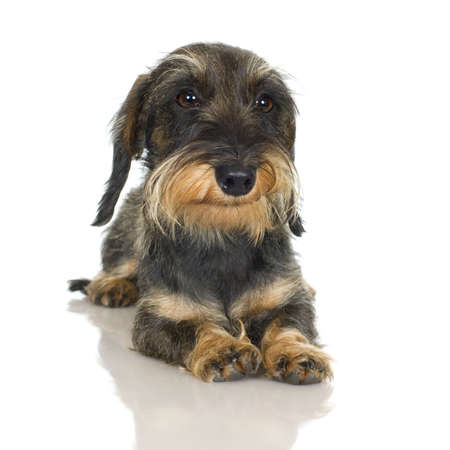 coarse: young Coarse haired Dachshund in front of a white background
