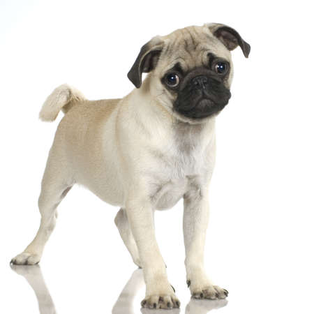 stitting: Pug standing up in front of white background