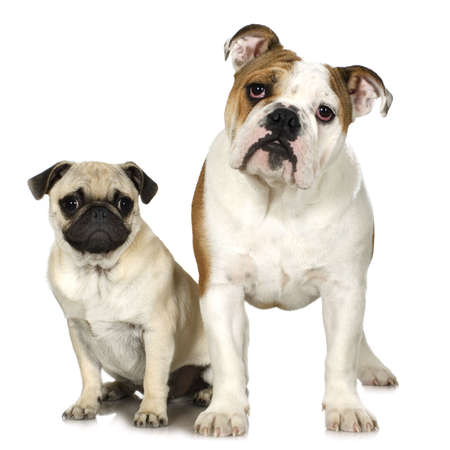 stitting: english Bulldog and a pug in front of a white background