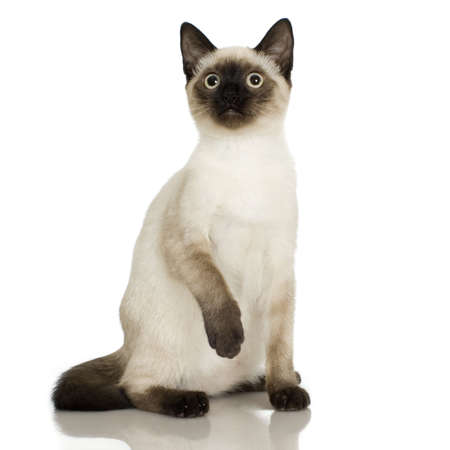 envious: Siamese in front of a white background