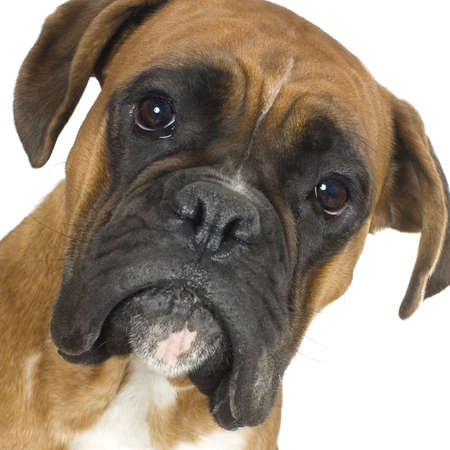 ugliness: close-up on a Boxer in front of a white background