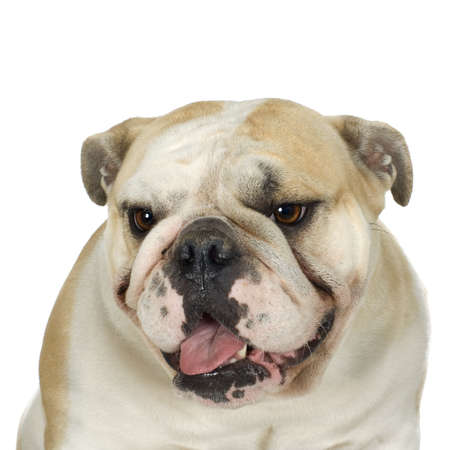 molosse: english Bulldog cream and white stitting in front of awhite background