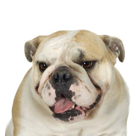 stitting: english Bulldog cream and white stitting in front of awhite background