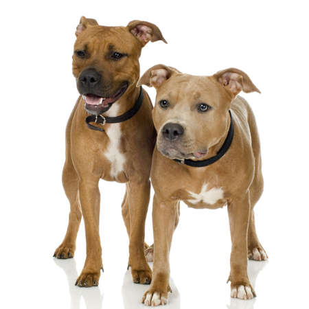 gardian: couple of juvenile American Staffordshire terrier in front of a white background