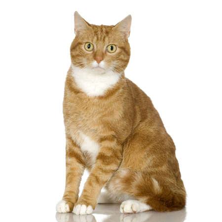 blue grey coat: Ginger Cat kitten in front of a white background