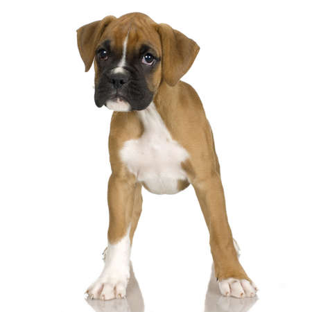 puppy Boxer in front of white background Stock Photo