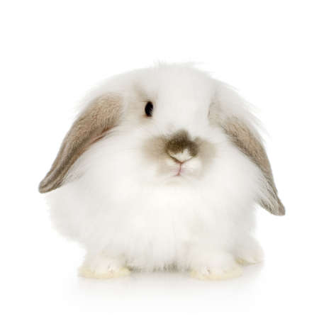 lop: close-up on a white Lion headed lop rabbit in front of a white background and looking at the camera Stock Photo