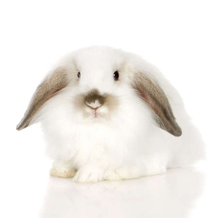lop lop rabbit white: close-up on a white Lion headed lop rabbit in front of a white background and looking at the camera Stock Photo