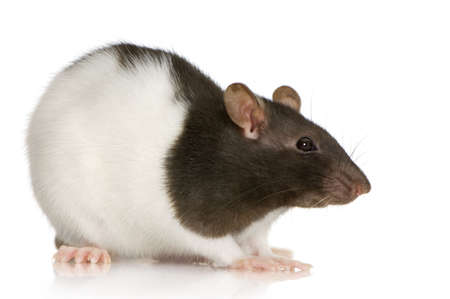 rat: Two-coloured panda rat in front of a white background