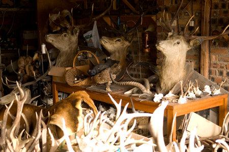 Some deer trophys in a stuffers workshop Stock Photo