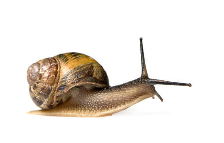 Garden snail in front of a white background photo