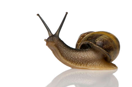 Garden snail in front of a white background Stock Photo - 1367314