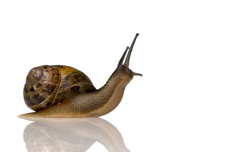 mucus: Garden snail in front of a white background