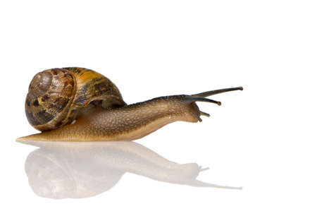 Garden snail in front of a white background Stock Photo - 1367262