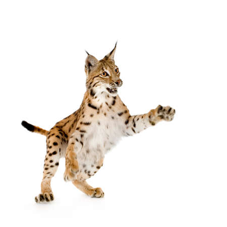 catlike: Lynx in front of a white background