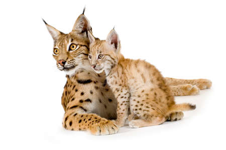 catlike: Lynx and her cub in front of a white background