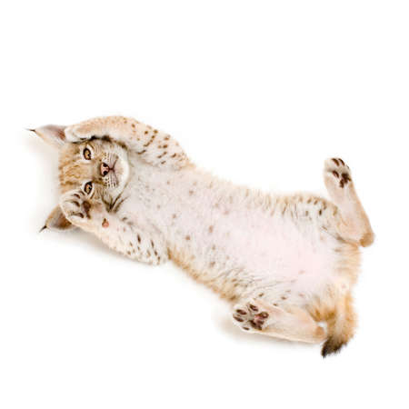 catlike: Lynx cub on his back in front of a white background Stock Photo