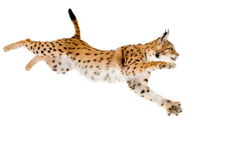 lynx: Lynx przed białym tle Zdjęcie Seryjne
